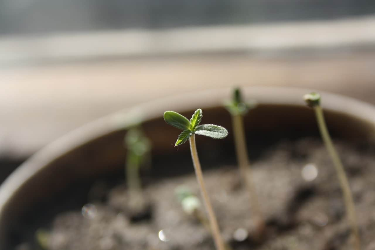 cannabis seedling just starting to sprout